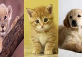 Puzzle tigre, chien et chat