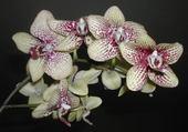 Puzzle belle orchidée