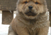 Puzzle Chiot chow chow