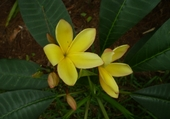 Jeux de puzzle : frangipanier jaune