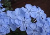 Jeu puzzle fleurs de plumbago