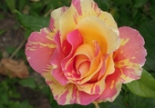 Puzzle rose de mon jardin