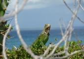 Puzzle gratuit iguane