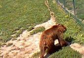 Puzzle l'ours brun
