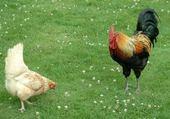 Jeux de puzzle : poule et coq
