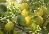 Jeux de puzzle : citrons par hélène