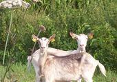 drôles de chèvres
