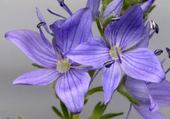 Puzzle gratuit fleur bleue