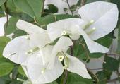 Bougain Villier blanc
