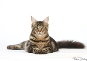 maine coon des Looney Coons