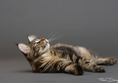 Puzzle chat maine coon