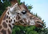 Puzzle Giraphes