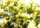 Puzzle Mimosa