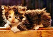 Puzzle chaton sur le parquet