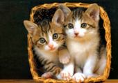 Puzzles Chatons