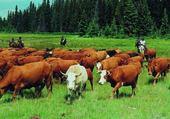 Jeux de puzzle : vaches aux champ