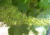 fleur de raisin