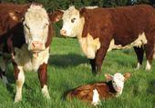 Puzzle famille de vache