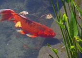 Puzzles poisson rouge