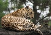 Puzzle Puzzle leopard