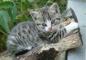 chat tigrer