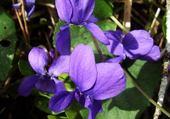 Puzzle violettes  jardinage