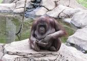 Puzzle en ligne orang outan