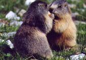 Puzzle gratuit marmottes amoureux