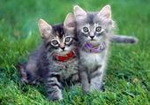 Puzzle Puzzle Deux chaton mignon >.