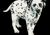 Puzzle 1-chiot-dalmatien-2[1]