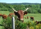 Puzzles vache auvergnate