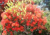 Fleur du maquis calédonien