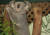 Puzzle Jeu puzzle Koala
