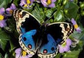 Puzzle Puzzle gratuit papillon