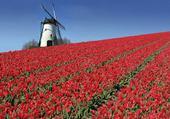 Puzzle en ligne Moulin dans les tulipes par hélèn