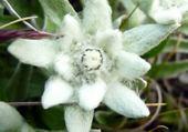 Puzzle en ligne edelweiss par hélène
