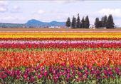 Puzzle Puzzle champ de tulipe par hélène