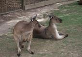 Puzzle Puzzle kangourou
