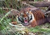 Jeu puzzle Tigre