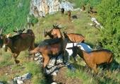 Puzzle Chèvres en montagne