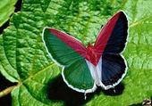 Puzzle en ligne Papillon De palestine