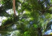 Puzzle cocotiers