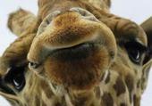 Puzzle en ligne Giraffe