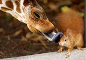 Puzzle Giraffe et ecureuil