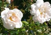 Puzzle roses de damas