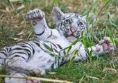 Jeux de puzzle : Tigre blanc