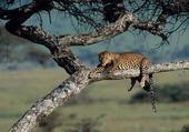 Puzzle le repos du léopard