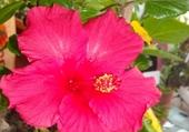 Puzzle hibiscus