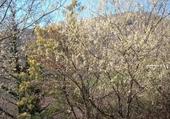 Puzzle cerisiers sauvages