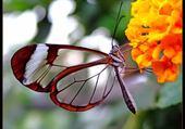Puzzle papillon transparent par hélène